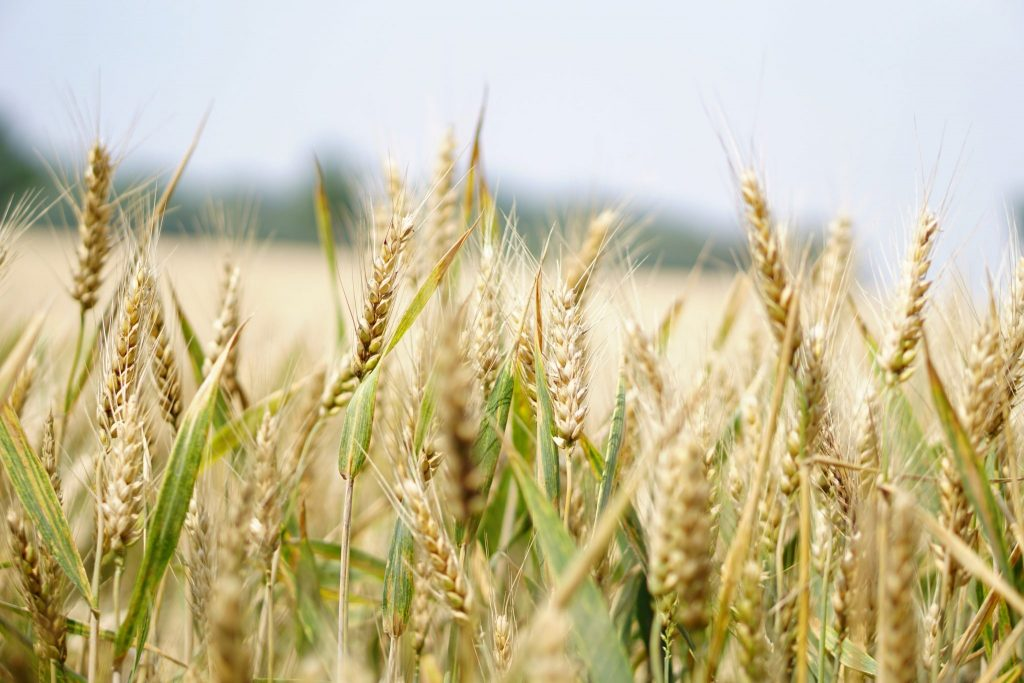 barley porridge for diabetes