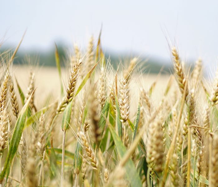 LOWER blood sugar levels and ketones with BARLEY